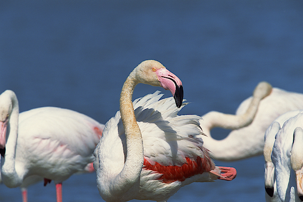 Flock Of Flamingos Photograph by Comstock Images