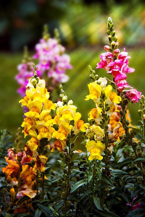 Antirrhinum Photograph - Flower - Antirrhinum - Grace by Mike Savad