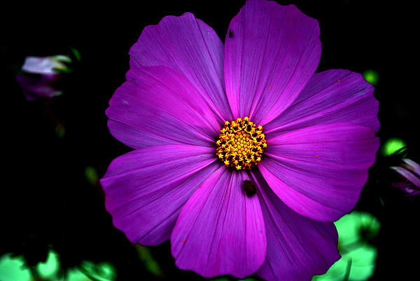 Flower Photograph - Flower Bug- Viators Agonism by Vijinder Singh