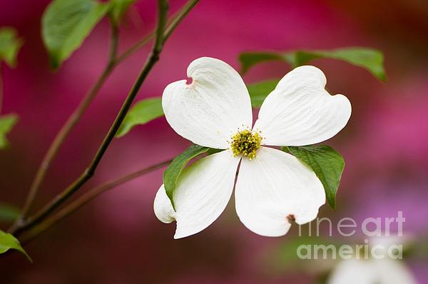 Azalea Photograph - Flowering Dogwood Blossoms by Oscar Gutierrez