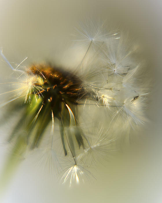Dandelion Photograph - Fly Away by Camille Lopez