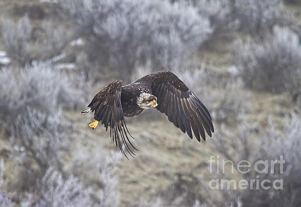 Eagle Photograph - Flying Low by Mike  Dawson