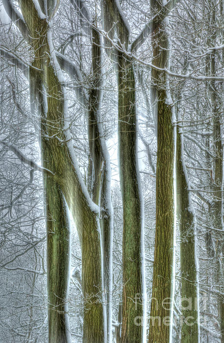 Forest Photograph - Forest Sentinels by David Birchall