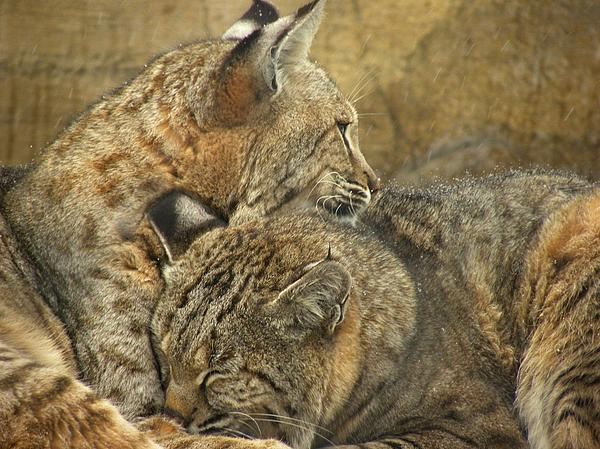 Bobcats Photograph - Forever by Teresa Schomig