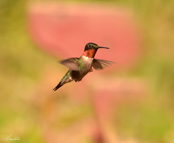 Hummingbird Photograph - Free As A Bird by Lori Tambakis