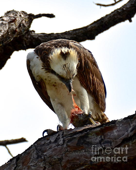 Osprey Photograph - Fresh Catch by Carol  Bradley