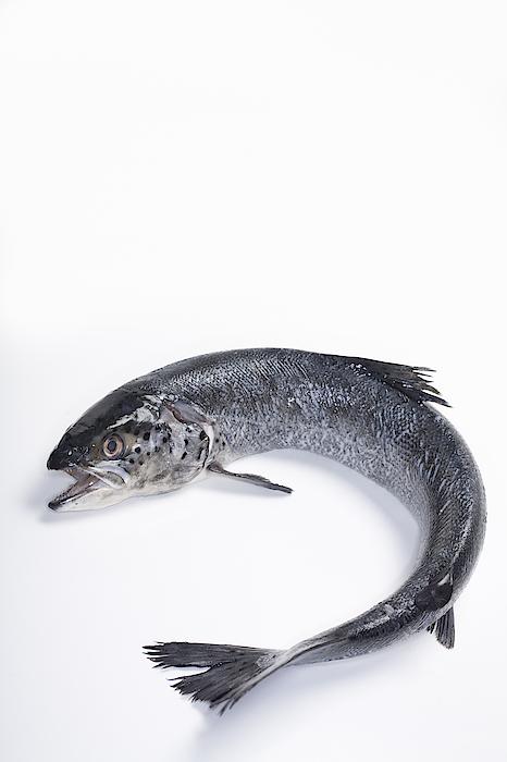 Fresh, Wild Caught, Coho Salmon Photograph by Inti St. Clair