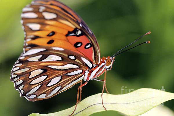 Fritillary Photograph - Fritillary Butterfly by Pamela Gail Torres