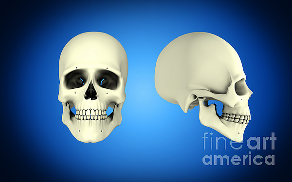 Horizontal Digital Art - Front View And Side View Of Human Skull by Stocktrek Images