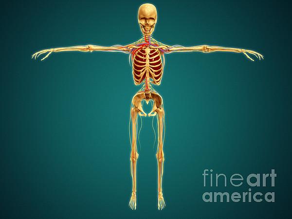 Medical Digital Art - Front View Of Human Skeleton by Stocktrek Images