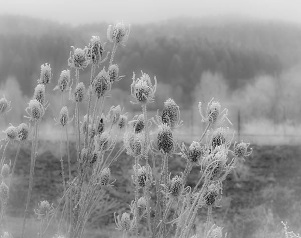 Frozen Photograph - Frozen Teasel by Jean Noren
