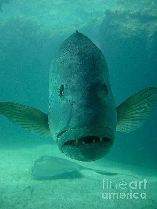 Aquarium Photograph - Funny Fish Face by Amy Cicconi