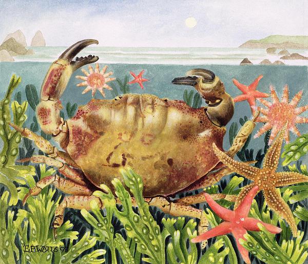 Starfish; Seaweed; Sea Painting - Furrowed Crab With Starfish Underwater by EB Watts