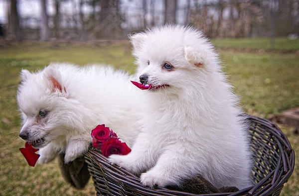 American Eskimo Puppies Photograph - Gather Ye Rosebuds While Ye May . . . by Bonnie Barry