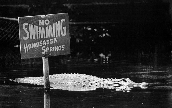 Classic Photograph - Gator At Homossa Springs by Retro Images Archive