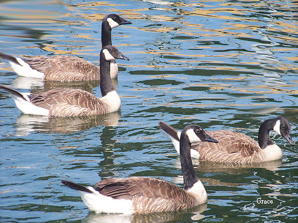 Geese Photograph - Geese  by Julie Grace