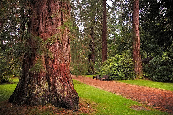 Giant Sequoia Photograph - Giant Sequoia Or Redwood. Benmore Botanical Garden. Scotland by Jenny Rainbow
