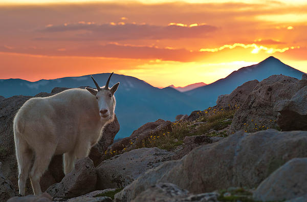 Alpine Photograph - Glorious Mountain Goat Sunset by Mike Berenson