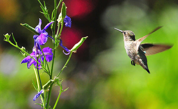 Hummers Photograph - Going Home by Lynn Bauer
