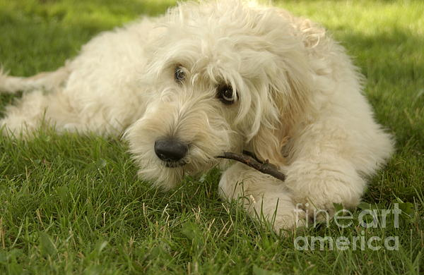Dog Photograph - Goldendoodle Pup With Stick by Anna Lisa Yoder