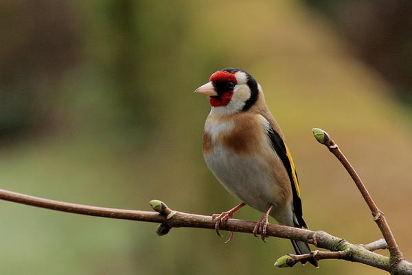 Goldfinch Nature Birds Photography Prints Pskeltonphoto Canon Photograph - Goldfinch by Peter Skelton