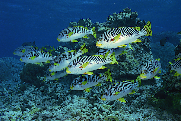 Goldmans Sweetlips Fish Photograph by Comstock Images
