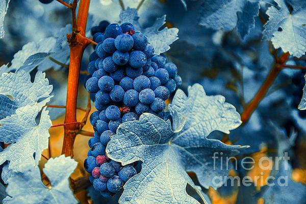 Blue Photograph - Grapes - Blue  by Hannes Cmarits