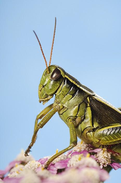 Animals Photograph - Grasshopper Close-up by Thomas Kitchin & Victoria Hurst