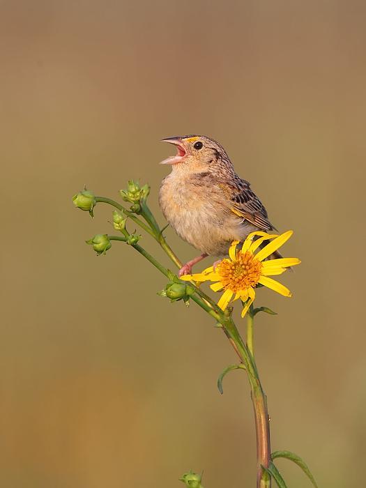 Grasshopper Sparrow Photograph - Grasshopper Sparrow Singing by Daniel Behm