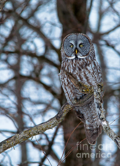 Owls Photograph - Great Beauty by Cheryl Baxter