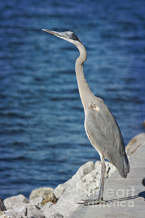 Bird Photograph - Great Blue Heron by Joan McCool