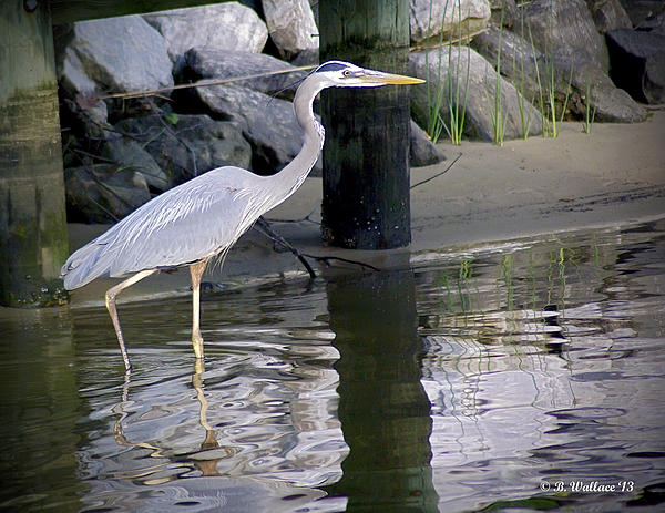 2d Photograph - Great Blue Heron - Mealtime by Brian Wallace