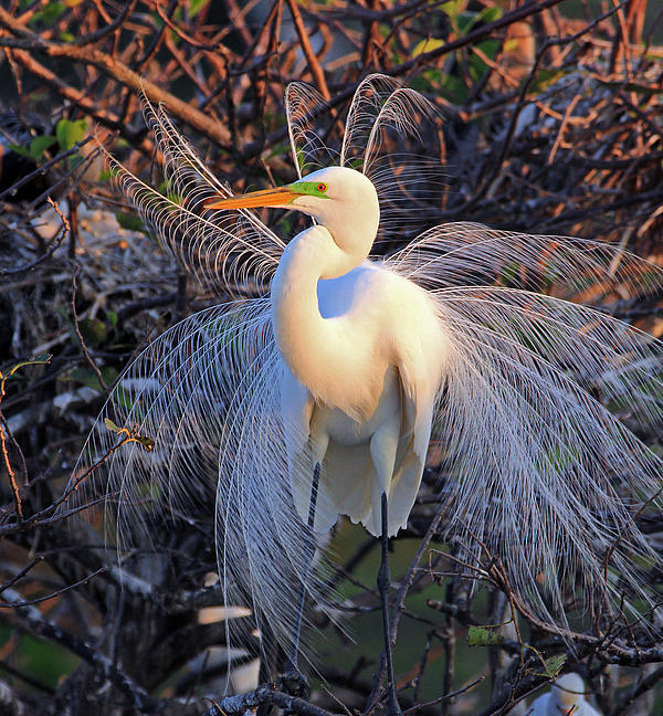 Great Egret Photograph - Great Egret Display by Larry Nieland