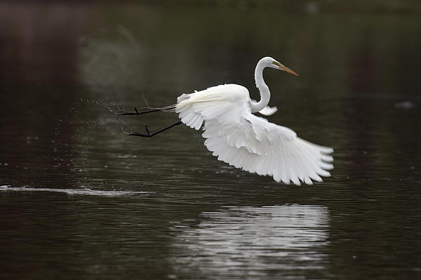 White Photograph - Great Egret Takeoff by Gary Langley