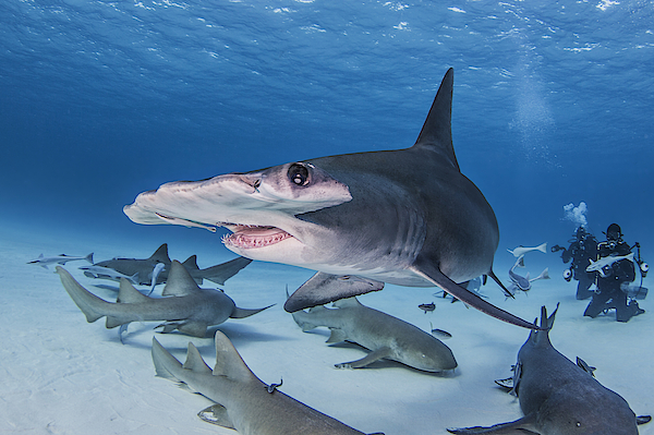 Great Hammerhead Shark With Nurse Sharks Around It, Divers In Background Photograph by Ken Kiefer 2