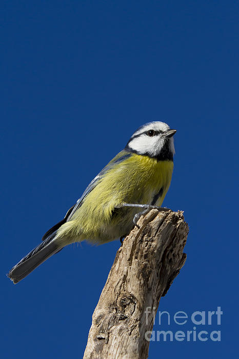 Great Tit Photograph - Great Tit On Blue by Maurizio Bacciarini