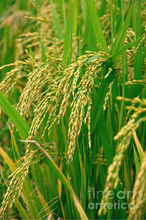Green Photograph - Green Beautiful Rice Farming by Boon Mee