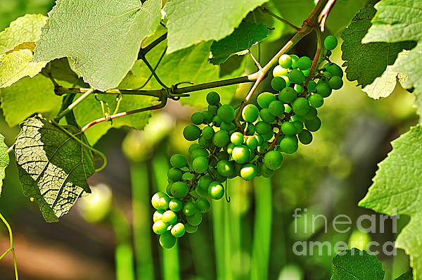 Green Berries Photograph - Green Berries by Kaye Menner