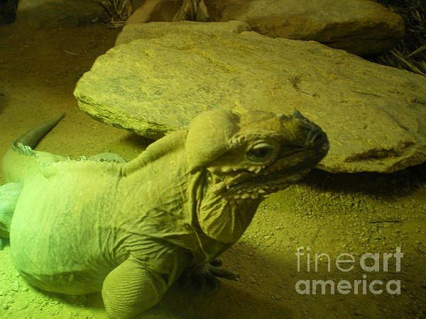 Reptile  Photograph - Green Iguana by Ann Fellows