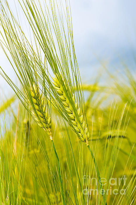 Green Rye Photograph - Green Rye by Boon Mee