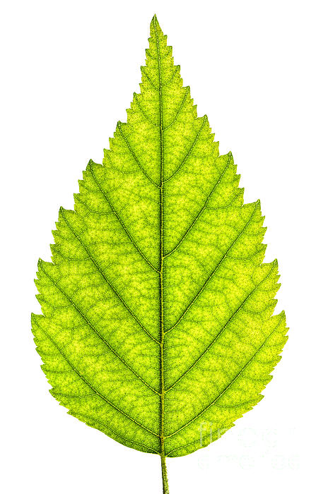 Green Photograph - Green Tree Leaf by Elena Elisseeva