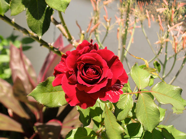 Roses Photograph - Growing Rose by Zina Stromberg