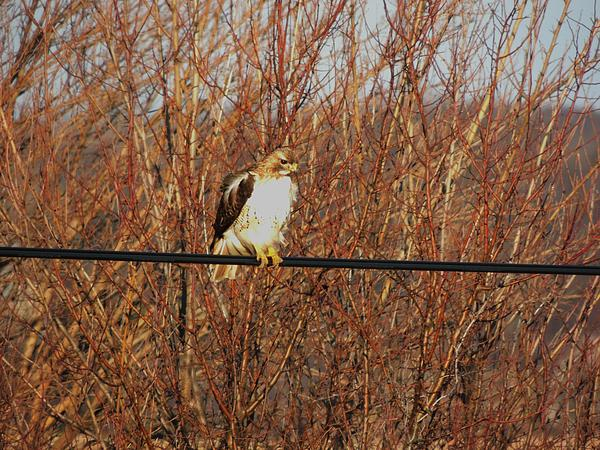Red Tail Hawk Photograph - Hawk #22 by Todd Sherlock