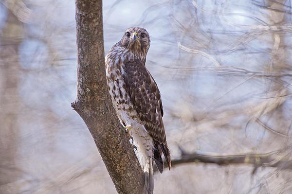 Hawk Photograph - Hawk At Cypress Island by Bonnie Barry