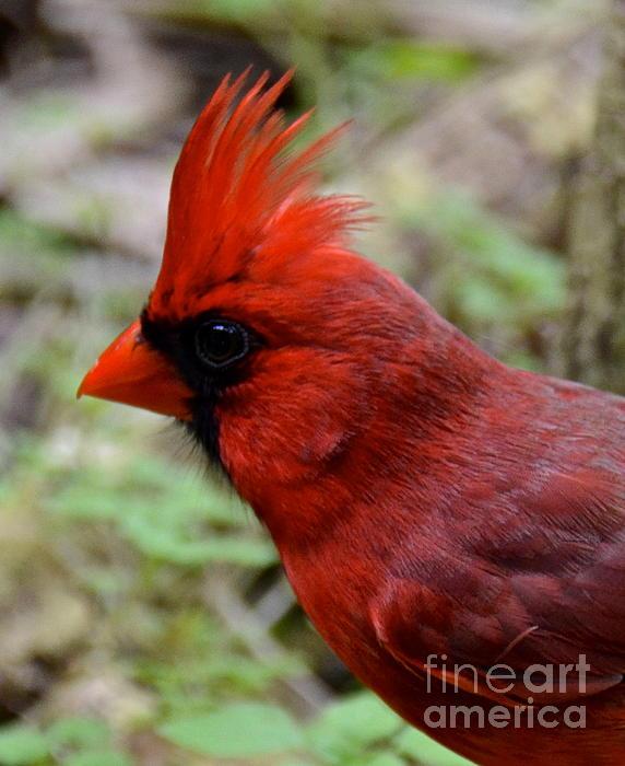 Cardinal Photograph - Head Shot by Carol  Bradley
