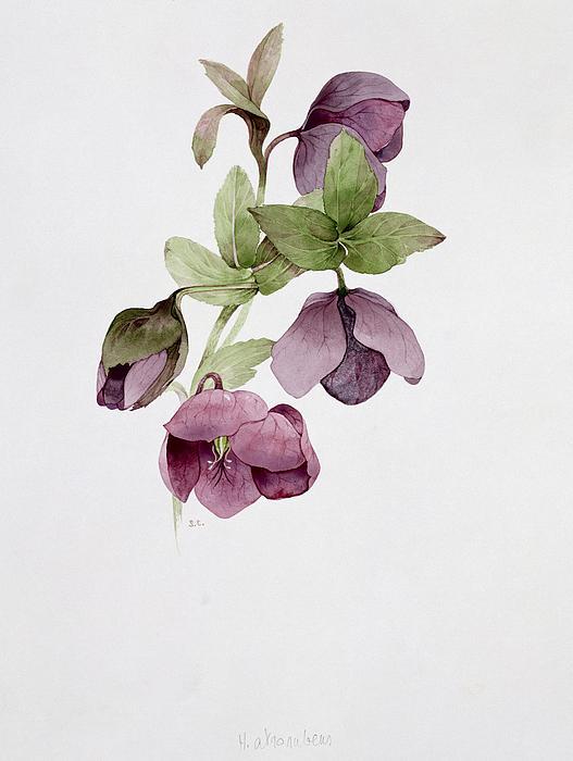 Leaves Painting - Helleborus Atrorubens by Sarah Creswell