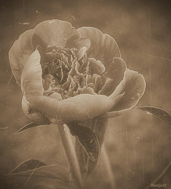 Flowers Photograph - Here Is The Flower... by Marija Djedovic