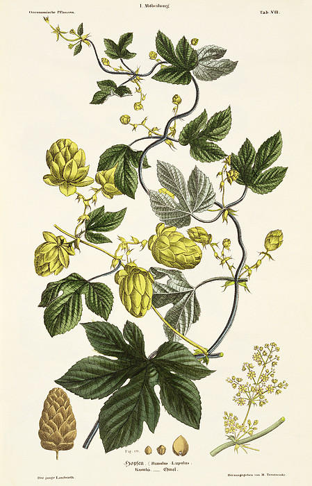 Hops Drawing - Hop Vine From The Young Landsman by Matthias Trentsensky