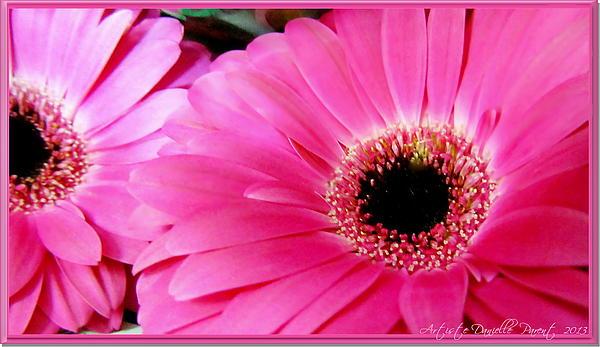 Danielle Parent Photograph - Hot Pink Gerber Daisies Macro by Danielle  Parent