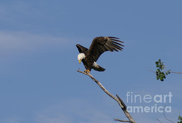 Bald Eagle Photograph - How My Claws by Lori Tordsen